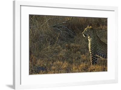 A Female Leopard Secures an Area from Predators for Her Cubs to Sleep-Steve Winter-Framed Photographic Print