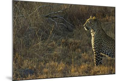 A Female Leopard Secures an Area from Predators for Her Cubs to Sleep-Steve Winter-Mounted Photographic Print