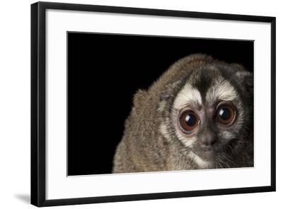 A Colombian Night Monkey, Aotus Lemurinus, at the Houston Zoo-Joel Sartore-Framed Photographic Print