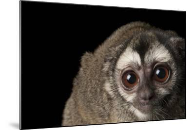 A Colombian Night Monkey, Aotus Lemurinus, at the Houston Zoo-Joel Sartore-Mounted Photographic Print