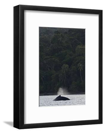 A Humpback Whale, Megaptera Novaeangliae, in the Pacific Ocean-Kike Calvo-Framed Premium Photographic Print