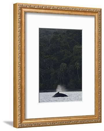 A Humpback Whale, Megaptera Novaeangliae, in the Pacific Ocean-Kike Calvo-Framed Photographic Print