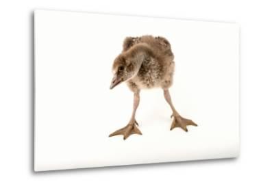A Vulnerable Five Week Old Female Nene Goose at the Sylvan Heights Bird Park-Joel Sartore-Metal Print