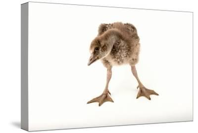 A Vulnerable Five Week Old Female Nene Goose at the Sylvan Heights Bird Park-Joel Sartore-Stretched Canvas Print