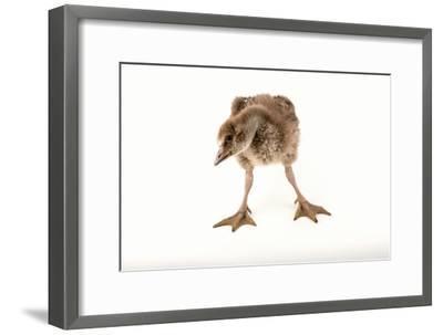 A Vulnerable Five Week Old Female Nene Goose at the Sylvan Heights Bird Park-Joel Sartore-Framed Photographic Print