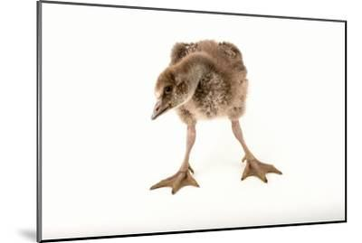 A Vulnerable Five Week Old Female Nene Goose at the Sylvan Heights Bird Park-Joel Sartore-Mounted Photographic Print