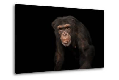 An Endangered Chimpanzee, Pan Troglodytes, at Rolling Hills Zoo-Joel Sartore-Metal Print