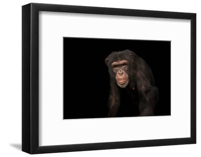 An Endangered Chimpanzee, Pan Troglodytes, at Rolling Hills Zoo-Joel Sartore-Framed Photographic Print