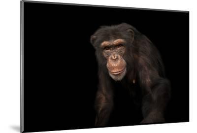 An Endangered Chimpanzee, Pan Troglodytes, at Rolling Hills Zoo-Joel Sartore-Mounted Photographic Print
