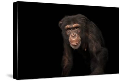 An Endangered Chimpanzee, Pan Troglodytes, at Rolling Hills Zoo-Joel Sartore-Stretched Canvas Print