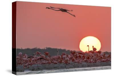A Caribbean Flamingo, Phoenicopterus Ruber, in Flight at Sunset-Steve Winter-Stretched Canvas Print