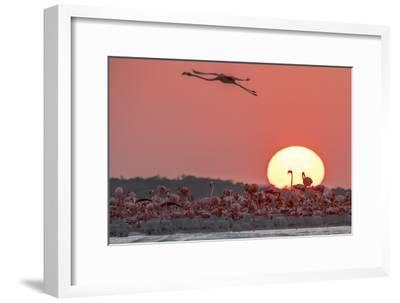 A Caribbean Flamingo, Phoenicopterus Ruber, in Flight at Sunset-Steve Winter-Framed Photographic Print