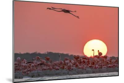 A Caribbean Flamingo, Phoenicopterus Ruber, in Flight at Sunset-Steve Winter-Mounted Photographic Print