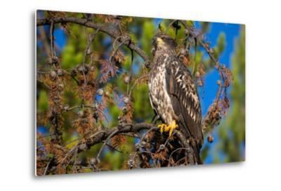 A Bald Eagle Perches on a Tree Branch in Grand Teton National Park-Charlie James-Metal Print