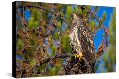 A Bald Eagle Perches on a Tree Branch in Grand Teton National Park-Charlie James-Stretched Canvas Print