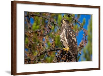 A Bald Eagle Perches on a Tree Branch in Grand Teton National Park-Charlie James-Framed Photographic Print