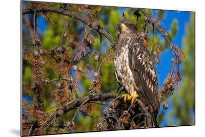 A Bald Eagle Perches on a Tree Branch in Grand Teton National Park-Charlie James-Mounted Photographic Print