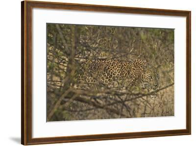 A Leopard Walking in Yala National Park-Steve Winter-Framed Photographic Print