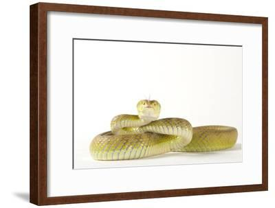 A White Lipped Tree Viper, Trimeresurus Insularis, at the Houston Zoo-Joel Sartore-Framed Photographic Print