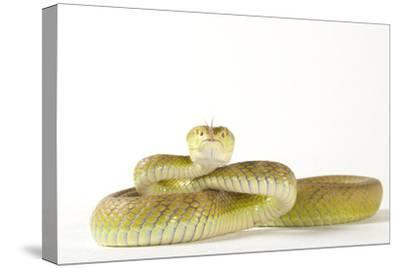 A White Lipped Tree Viper, Trimeresurus Insularis, at the Houston Zoo-Joel Sartore-Stretched Canvas Print