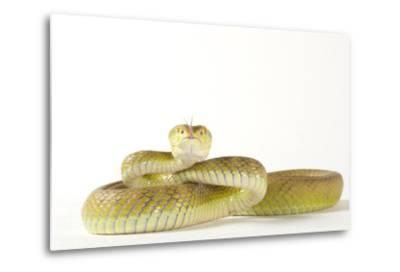 A White Lipped Tree Viper, Trimeresurus Insularis, at the Houston Zoo-Joel Sartore-Metal Print