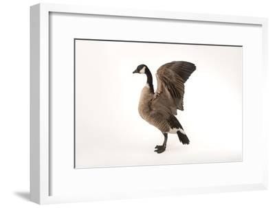 A Richardson's Cackling Goose, Branta Hutchinsii, at Sylvan Heights Bird Park-Joel Sartore-Framed Photographic Print