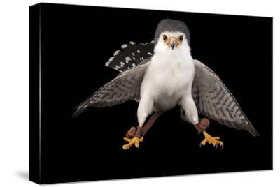 An African Pygmy Falcon, Polihierax Semitorquatus, at the Houston Zoo-Joel Sartore-Stretched Canvas Print