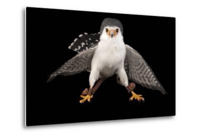 An African Pygmy Falcon, Polihierax Semitorquatus, at the Houston Zoo-Joel Sartore-Metal Print