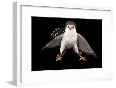 An African Pygmy Falcon, Polihierax Semitorquatus, at the Houston Zoo-Joel Sartore-Framed Photographic Print