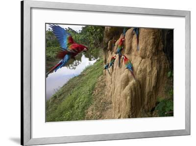 Clay Cliffs Form a Natural Salt Lick That Attracts Red-And-Green Macaws-Charlie James-Framed Photographic Print