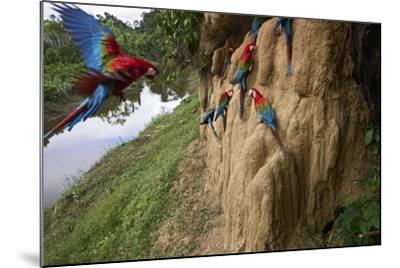 Clay Cliffs Form a Natural Salt Lick That Attracts Red-And-Green Macaws-Charlie James-Mounted Photographic Print