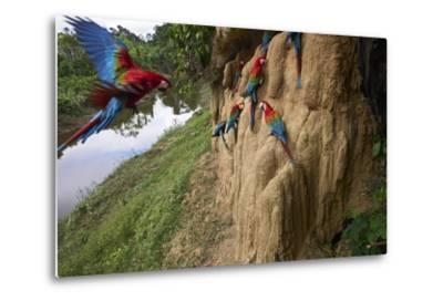 Clay Cliffs Form a Natural Salt Lick That Attracts Red-And-Green Macaws-Charlie James-Metal Print