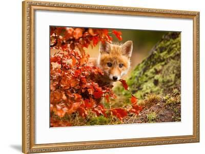 Fox-Robert Adamec-Framed Photographic Print