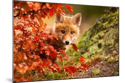 Fox-Robert Adamec-Mounted Photographic Print