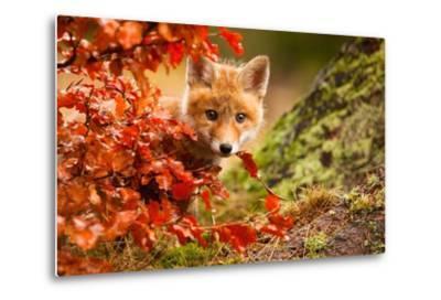 Fox-Robert Adamec-Metal Print