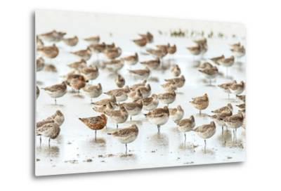 Bar-Tailed Godwit 19-Kurien Yohannan-Metal Print