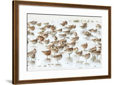 Bar-Tailed Godwit 19-Kurien Yohannan-Framed Photographic Print