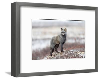 Cross Fox-Alessandro Catta-Framed Photographic Print