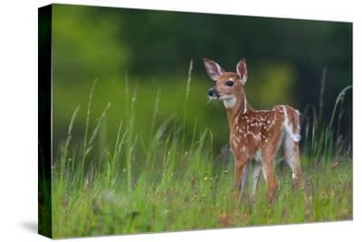 Spring Fawn-Nick Kalathas-Stretched Canvas Print
