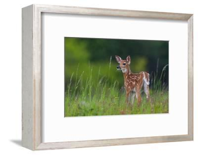 Spring Fawn-Nick Kalathas-Framed Photographic Print