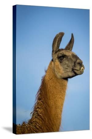 Llama Portrait IV-Tyler Stockton-Stretched Canvas Print