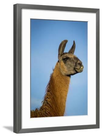 Llama Portrait IV-Tyler Stockton-Framed Art Print
