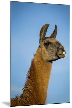 Llama Portrait IV-Tyler Stockton-Mounted Art Print