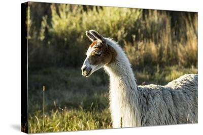Llama Portrait VI-Tyler Stockton-Stretched Canvas Print