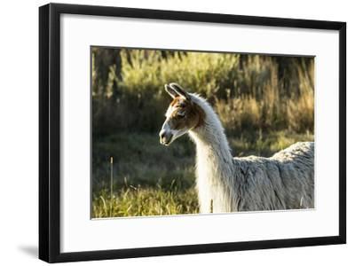 Llama Portrait VI-Tyler Stockton-Framed Art Print
