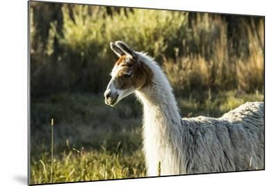 Llama Portrait VI-Tyler Stockton-Mounted Art Print
