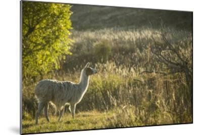 Llama Portrait V-Tyler Stockton-Mounted Art Print