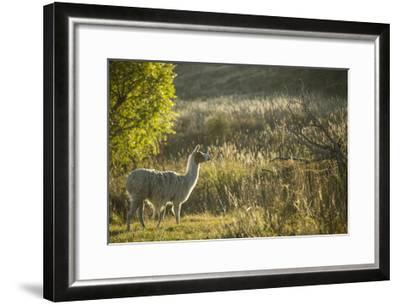 Llama Portrait V-Tyler Stockton-Framed Art Print