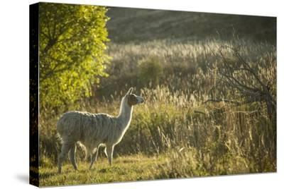 Llama Portrait V-Tyler Stockton-Stretched Canvas Print