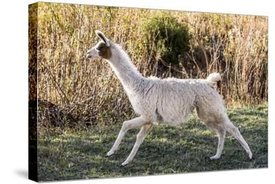 Llama Portrait IX-Tyler Stockton-Stretched Canvas Print